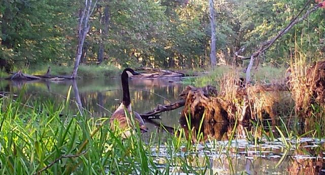 Canada Goose by the water.